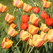 Ein Meer von Tulpen....