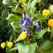 Eisenhut (Aconitum - ein sehr oft gebrauchtes homöopathisches Mittel)