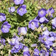 Glockenblumen blühen bis in den Herbst hinein.