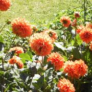 orange Dahlien...