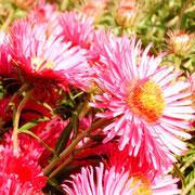 ........sie blühen in allen Farben.