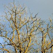 Dieser riesige Baum ist auch ohne Blätter sehenswert.