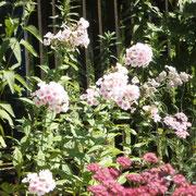 Hier blüht der Phlox zum 2. Mal in Nachbarschaft mit einer rosa Schafgarbe.