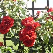 Diese rote Rose (Amadeus) blüht das ganze Jahr immer wieder.