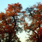 Baum in rot....