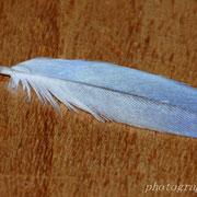 kleine Feder, zu den kleinen Flügeldecken gehörend; Proportion und Größe kann man durch den Vergleich auf dem Foto ganz oben erkennen