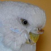 (leichte Hyperkeratose), bräunliche Wachshaut eines Weibchens (Farbschlag: weiß/ hellblau, aufgehellt, spangle)