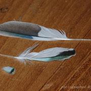 kleine Flügeldeckenfeder mit einer Schwung-/ und Steuerfeder von Klara zum Größenvergleich