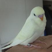 Calimero als Jungvogel