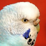 verhornte (leichte Hyperkeratose), bräunliche Wachshaut eines Weibchens (Farbschlag: normal blau)
