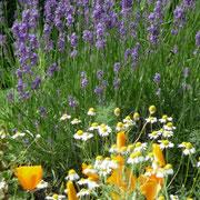Schlafmützchen, Kamille, Lavendel