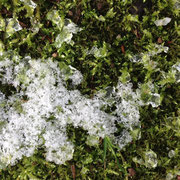 tauender Schnee auf Moos