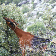 Baumziege in der Sierra de Grazalema beim Fressen
