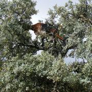 Baumziege in der Sierra de Grazalema in waghalsiger Position