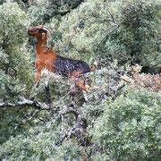 Baumziege in der Sierra de Grazalema