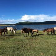 wilde Pferde vor dem Khövsgöl See