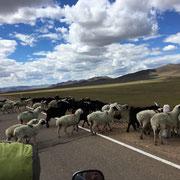 immer wieder versperrten uns Schaf- und Ziegenherde den Weg