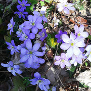 Frühlingserwachen im Uferwald