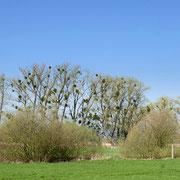 Misteln in den Bäumen – ein total verbreitetes Phänomen rund um Teterow