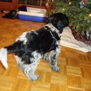 In seinem neuen Zuhause angekommen, gibt es für Tirggel viel zu beschnuppern – der Weihnachtsbaum kommt ihm irgendwie bekannt vor . . .