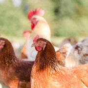 Bio Hühner von dem Sohn Paul-Louis Köhne