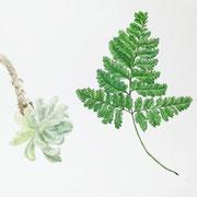 植物絵図 多肉とシノブ  Watercolor. 2016