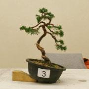 La pianta lavorata da Patrizio Virtuani - Bonsai Club Amici del Verde