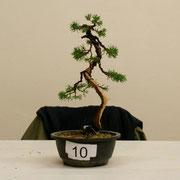 La pianta lavorata da Fabrizio Naro- Bonsai Club Torino