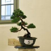 La pianta lavorata da Ronnie Laureana - Bonsai Blu