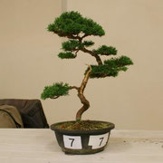 La pianta lavorata da Alessandro Geraci - Bonsai Club Rivalta che ha ottenuto una menzione di merito