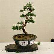 La pianta lavorata da Maurizio Peverati - Bonsai do Groane che ha ottenuto una menzione di merito