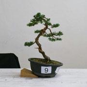 La pianta lavorata da Flavio Ambrosioni - Bonsai Club Ticino che ha ottenuto il primo premio