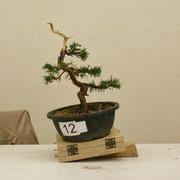 La pianta lavorata da Alberto Erba - Brianza Bonsai