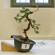 La pianta lavorata da Claudia Pozzi - ABAN Amici Bonsai Arte Natura Lecco
