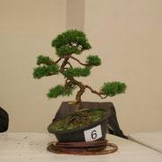 La pianta lavorata da Stefano Castiglioni - Bonsai Club Somma