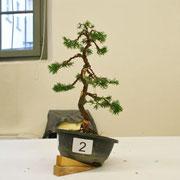 La pianta lavorata da Cesare Cogliati - Amici del Bonsai Castellanza
