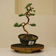 La pianta lavorata da Moreno Stacchio - Bonsai Club Settelaghi Varese