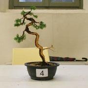 La pianta lavorata da Flavio Bonetti - Ass. Arte e Cultura Bergamo Bonsai