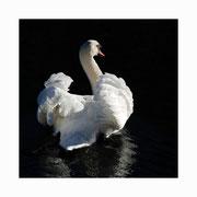 swan lake setkarte 3_14.5/14.5 mit couvert / ©mettler