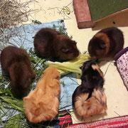 Unscharf, aber hier mal unsere 3 goldagouti Rexe (Zenzi, Xandra, Yvonne) zusammen samt Flo und Ursel!