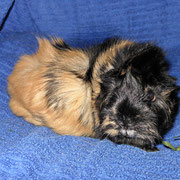 Vroni - freches Emanzenschweinchen - macht beim Pfotografieren neuerdings auf süß...