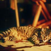 Maracucho, mi mejor gato, noble y cariñoso