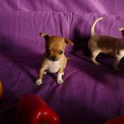 Чихуахуа щенки фото