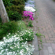 芝桜、ノースポール、アリッサムほか