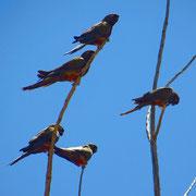 Schwärme von mehr als hundert Papageien sind keine Seltenheit. Laut kreischend fliegen sie über unsere Köpfe.