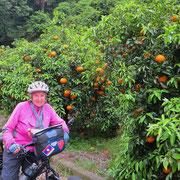 Hier reifen Orangen.
