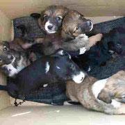 Portée de 6 chiots abandonnée devant le refuge dans un carton