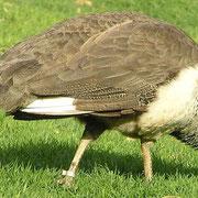 Un paon femelle. Elle diffère du mâle par des plumes de couleur bien plus ternes, plutôt marron-grises. Source: wikipédia.