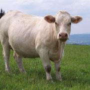Une vache à viande.