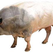 Un taureau de race bleu/blanc/beige, issue du croisement de vaches avec des Aurochs (ancienne espèce de bovin de taille impressionnante).
